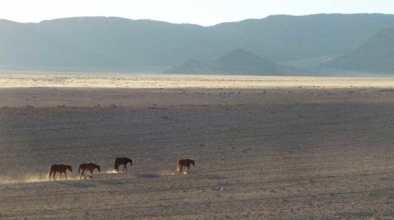 Aus - Les chevaux sauvages