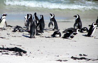 Cape Town - Colonie manchots