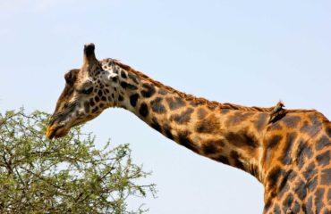 Cratère du Ngorongoro - Une girafe