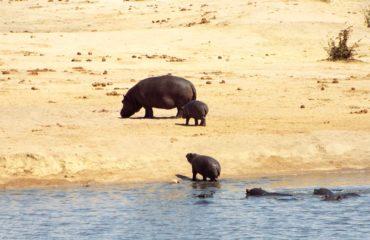 Hwange - Hippopotames