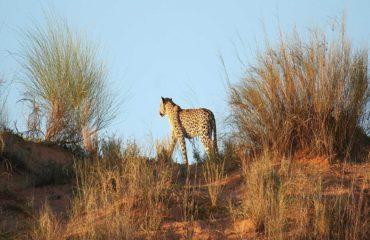 Kalahari Park - Leopard