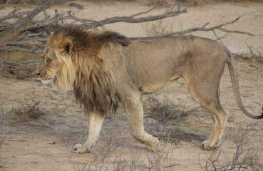 Kgalagadi - Un Lion