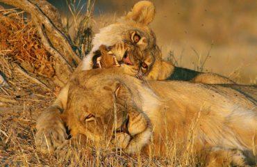 Makgadikgadi Pans - Les lions