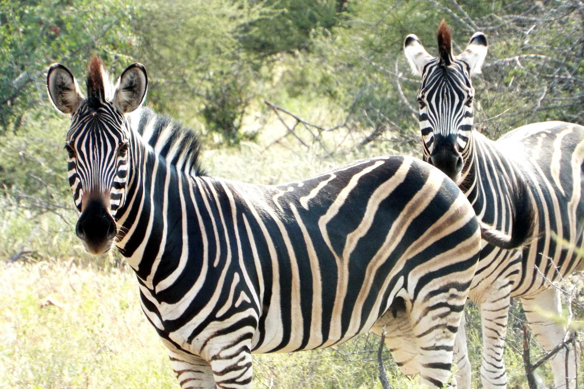 Mapungubwe - Les zèbres