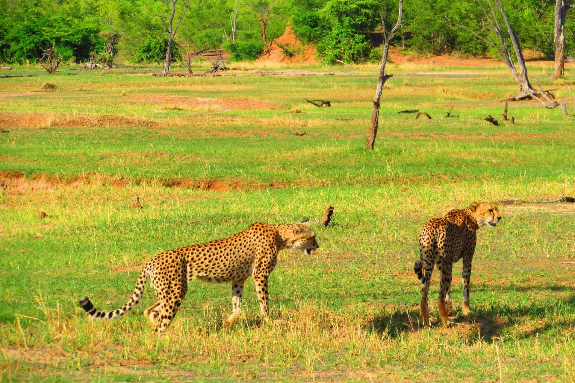 Matusadona - Les guépards