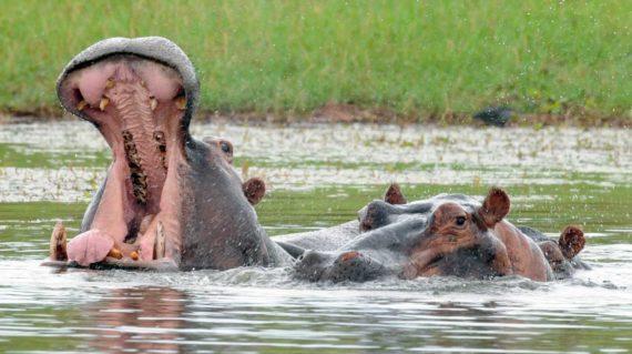 Matusadona - Les hippopothames