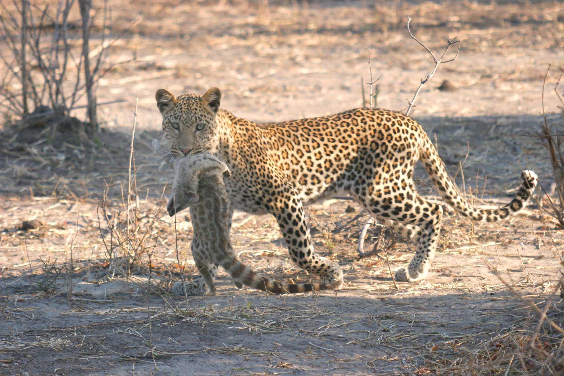 Parc Chobe - Un léopard