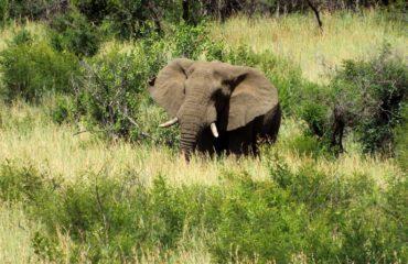 Parc Hluhluwe - Un éléphant
