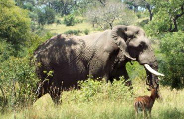 Parc Kruger - Un éléphant
