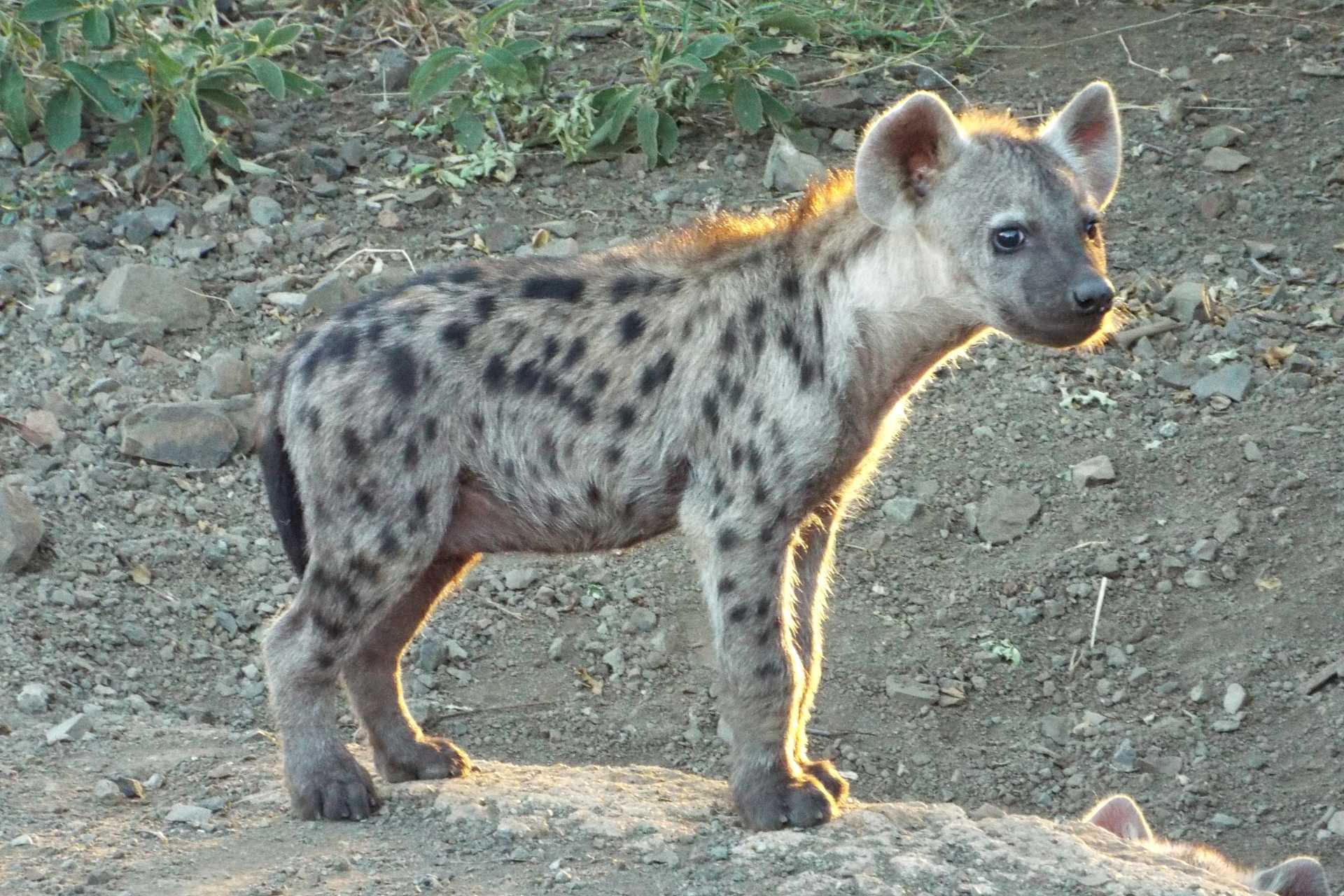 Parc Kruger - Une jeune hyène