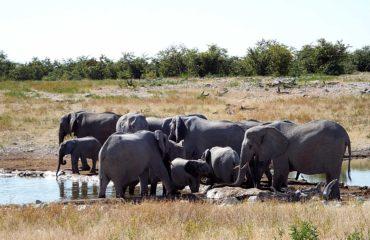 Parc National Etosha - Les éléphants