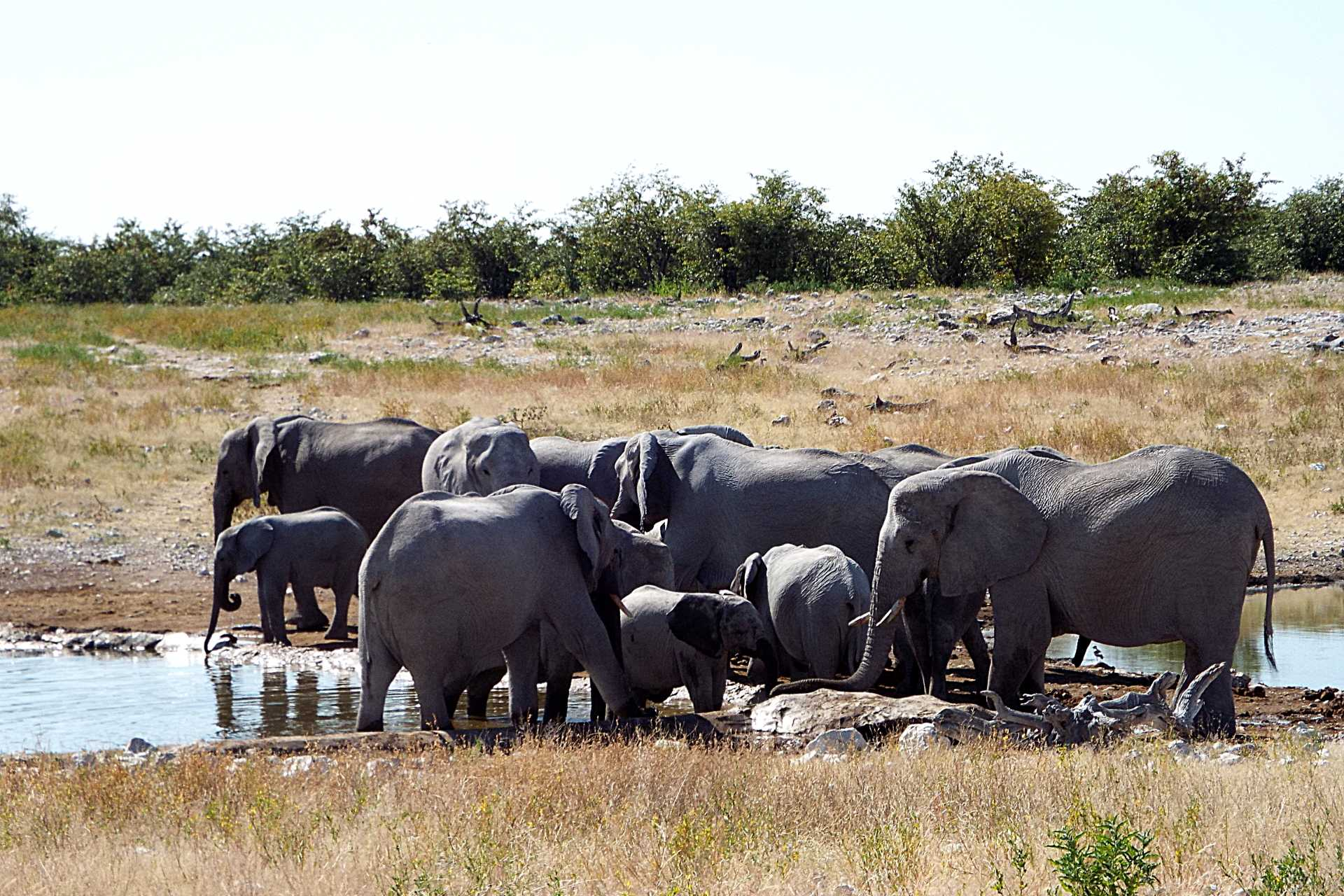 Parc National Etosha - Les éléphants