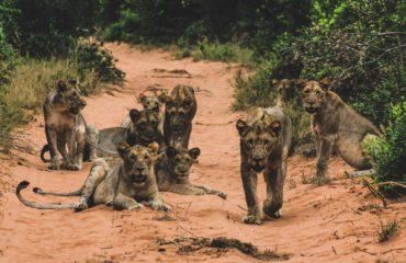 Parc Tembe - Un groupe de lionnes