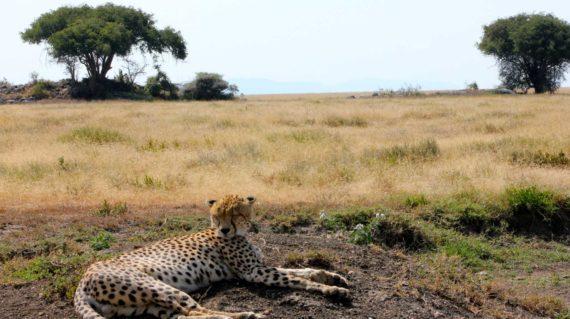 Parc de Manyara - Un guépard