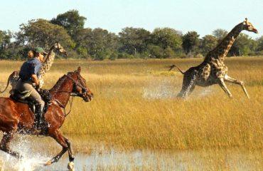 Safaris à cheval - Les girafes