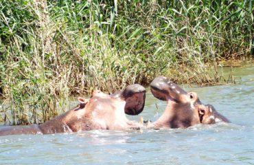 Saint Lucia - Les hippopotames