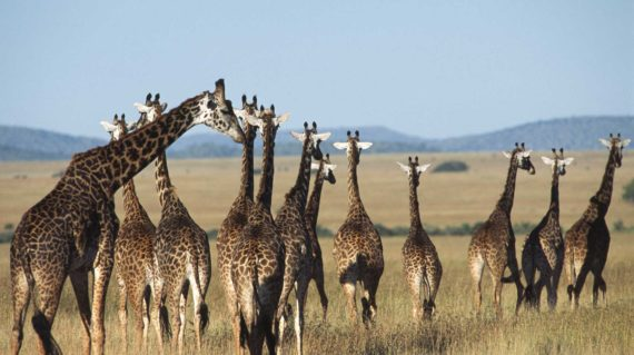 Serengeti - Les girafes