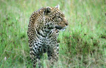 Serengeti - Un léopard
