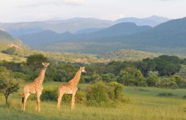Southpansberg - Girafes