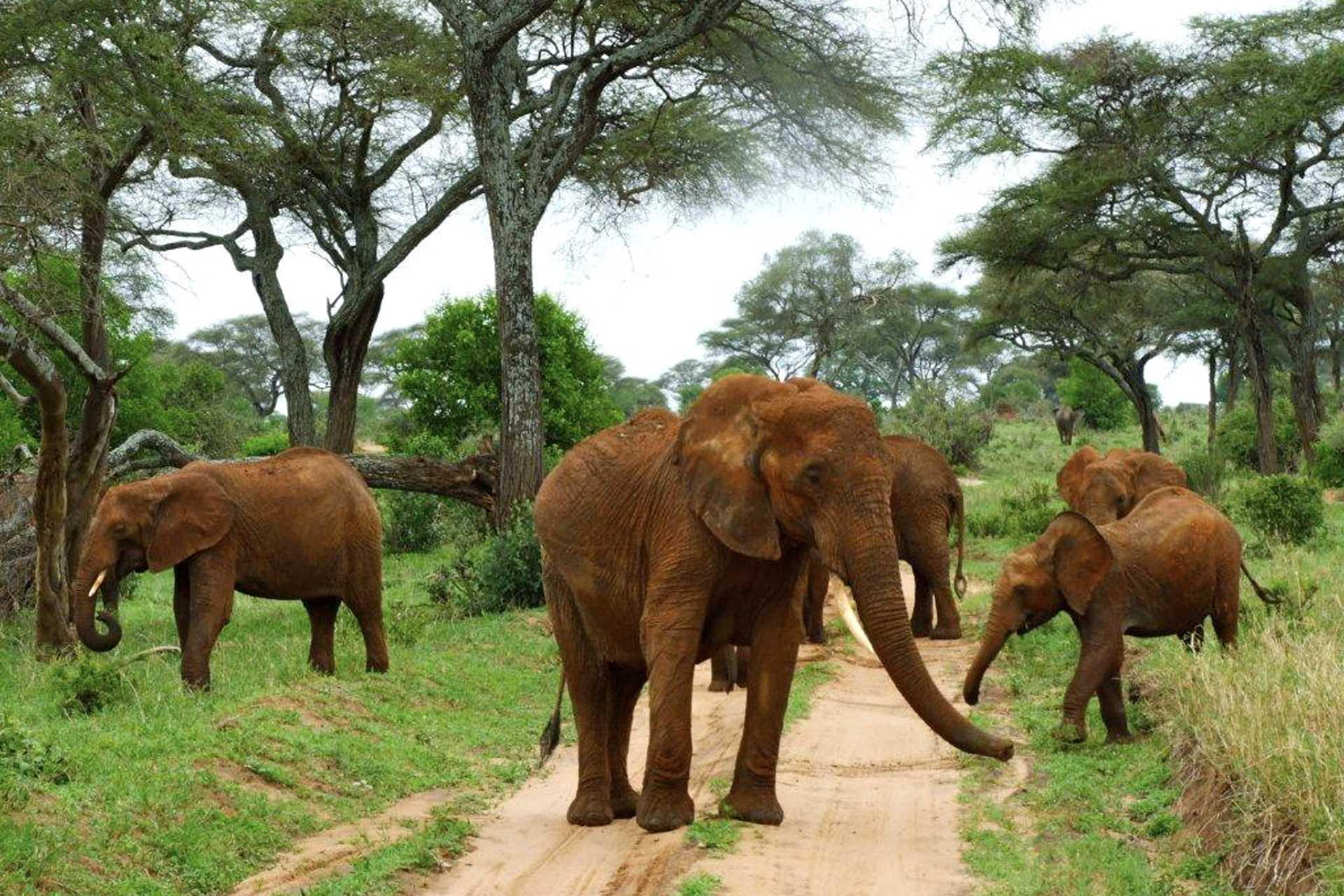 Tarangire - Les éléphants