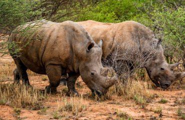 Waterberg - Des rhinocéros