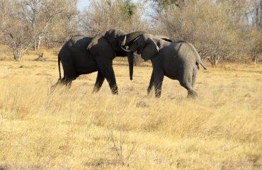 réserve Moremi - Elephants
