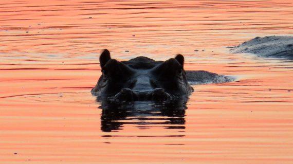 réserve Moremi - Hippopotame