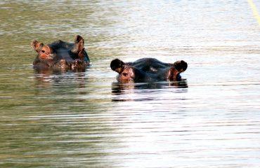 Khwai River - mokoro et Hippopotames