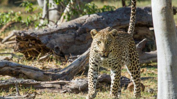 Botswana - Camp Moremi - léopard
