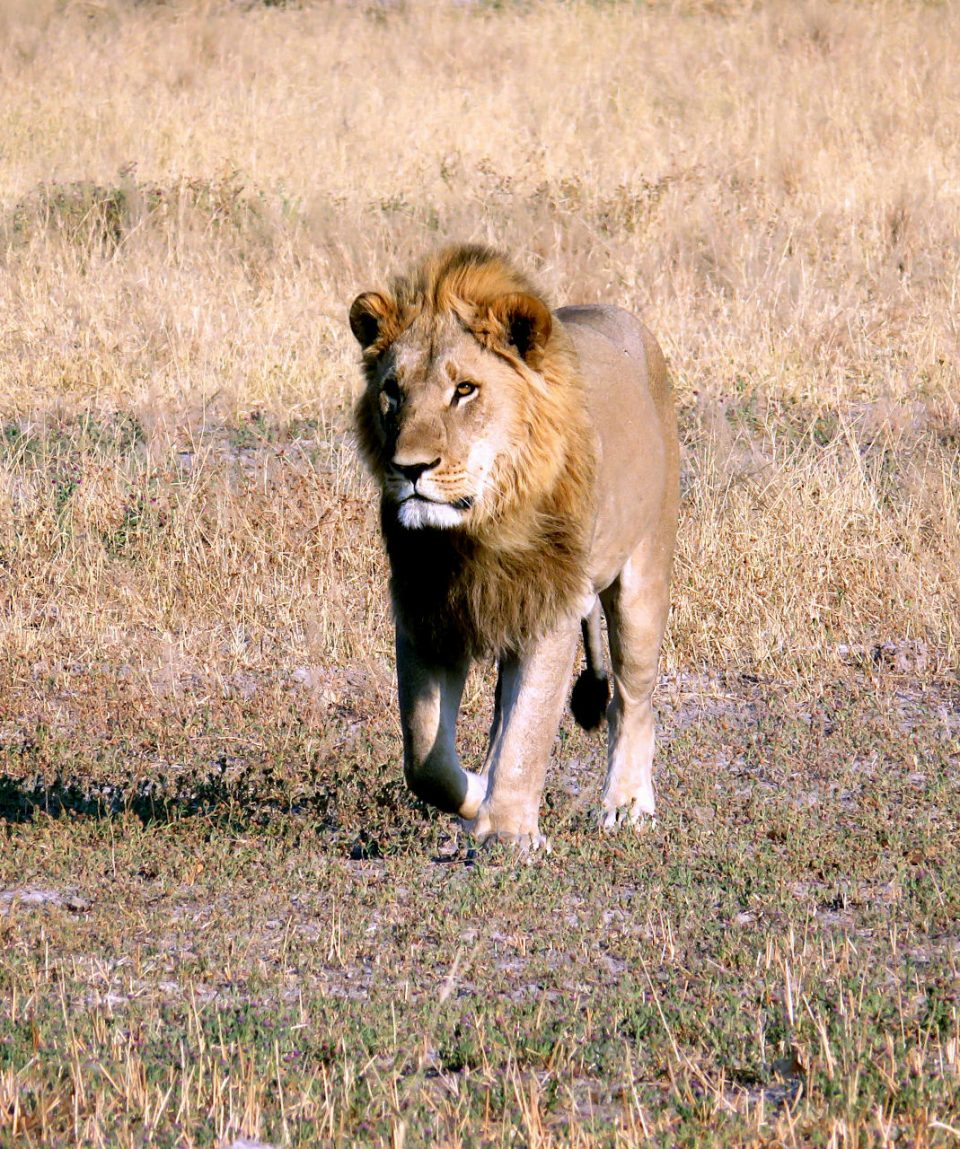 Botswana - parc Chobe - lion