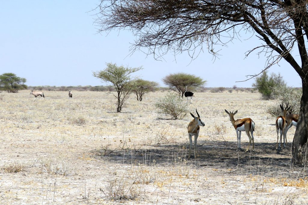 Central Kalahari Game Reserve - antilopes