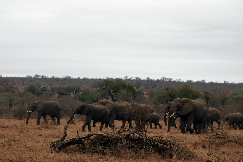 Afrique du Sud - parc Kruger - éléphants