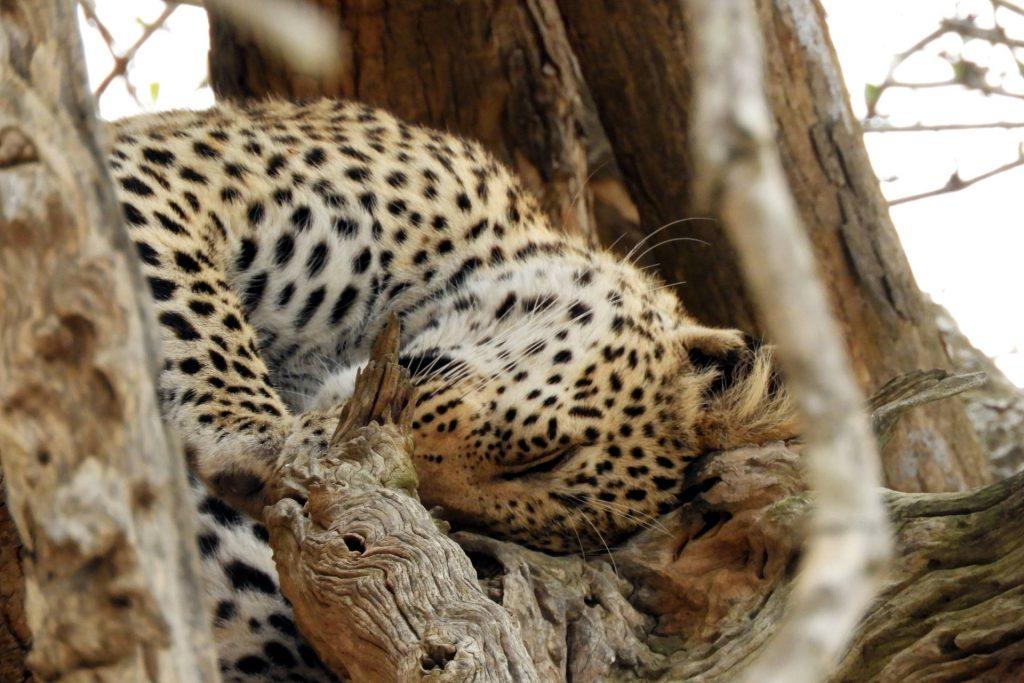 Afrique du Sud - parc Kruger - léopard