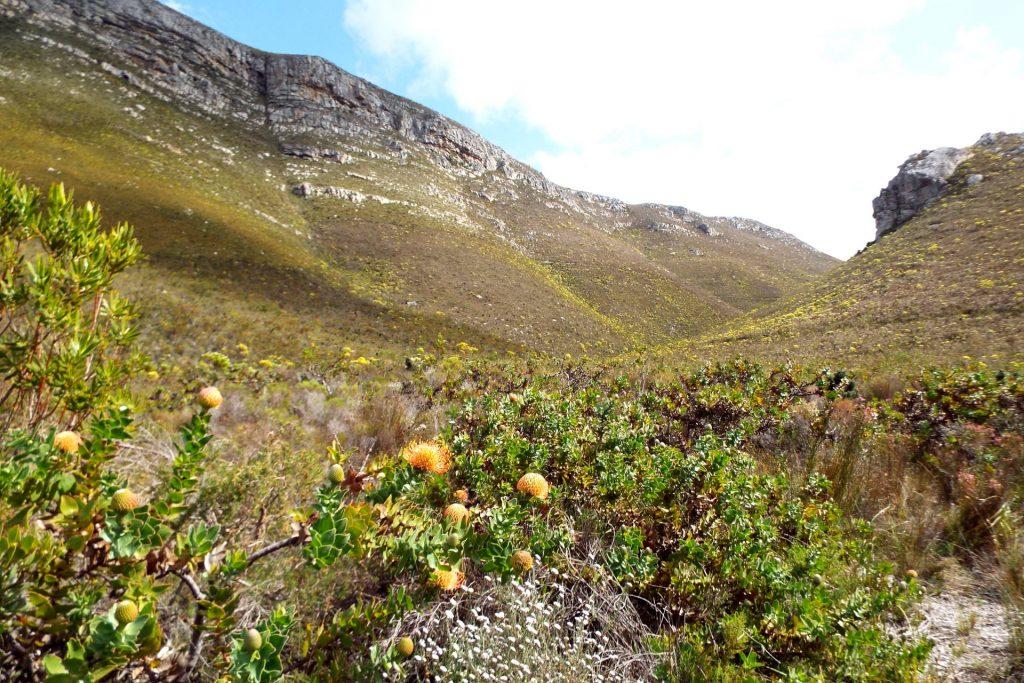 Hermanus - randonnée à la Fernkloof Nature Reserve