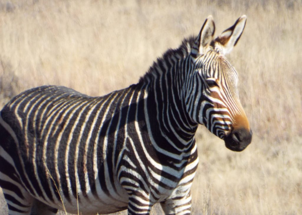Afrique du Sud - Mountain Zebra National Park - zèbre