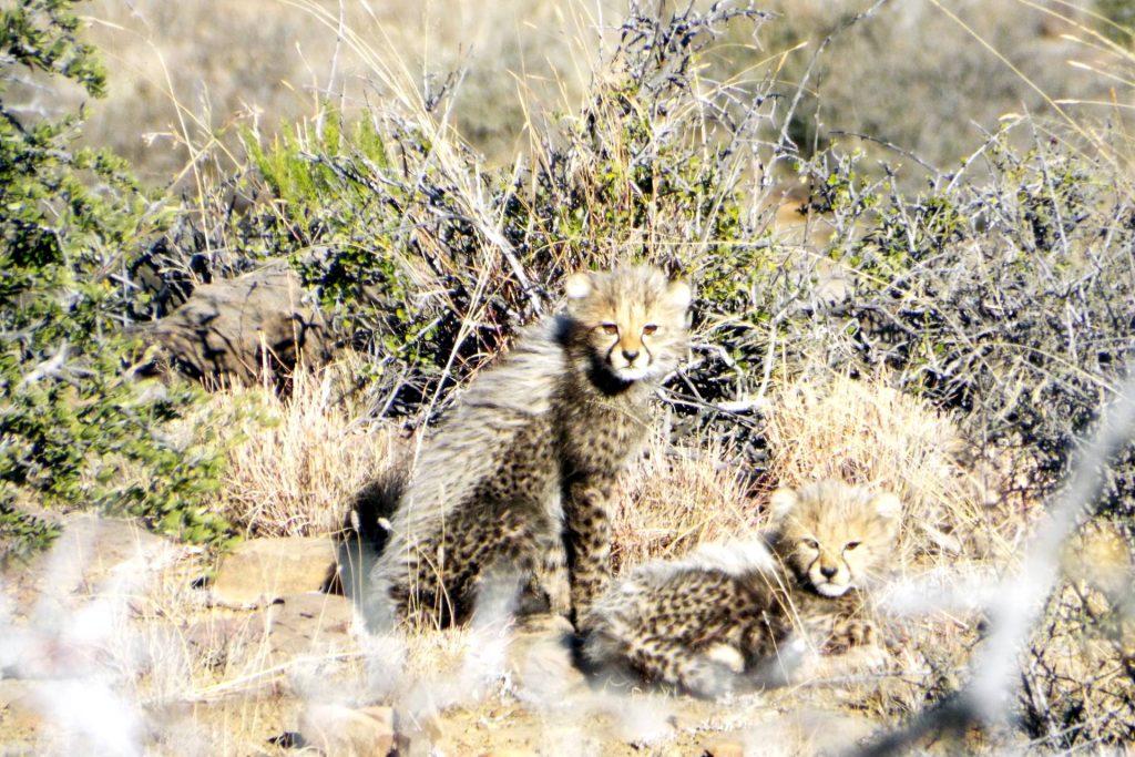 Afrique du Sud - Mountain Zebra National Park - jeunes guépards