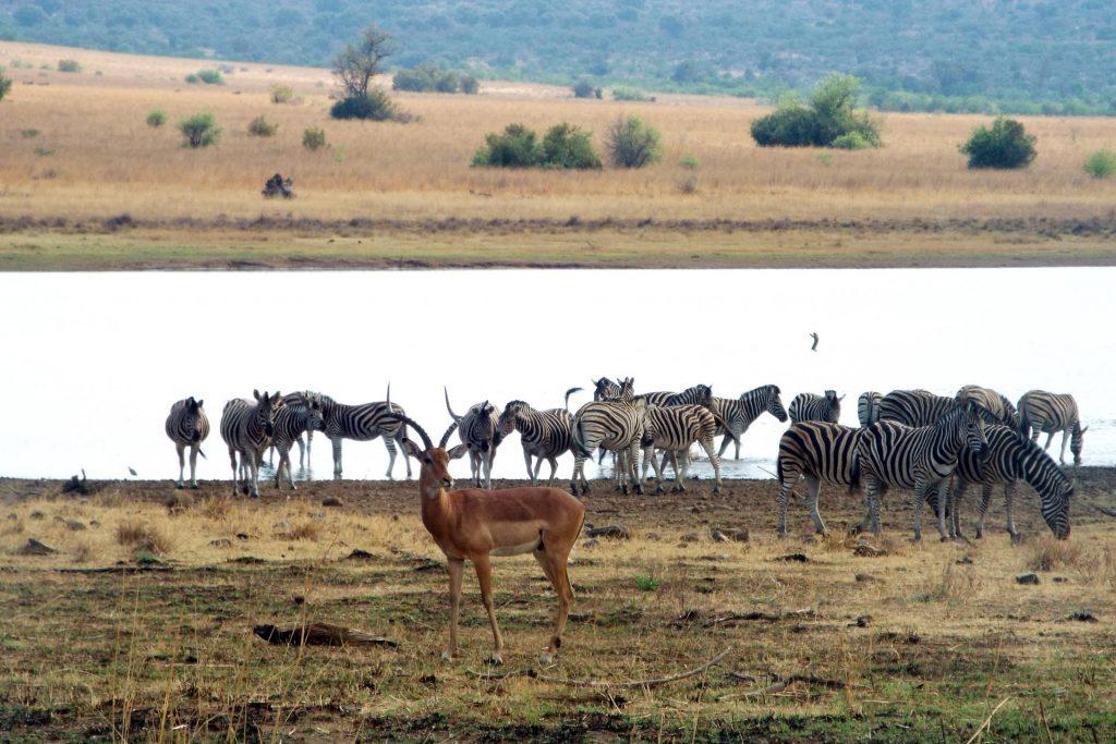 Afrique du Sud - Pilanesberg - zèbres et antilope