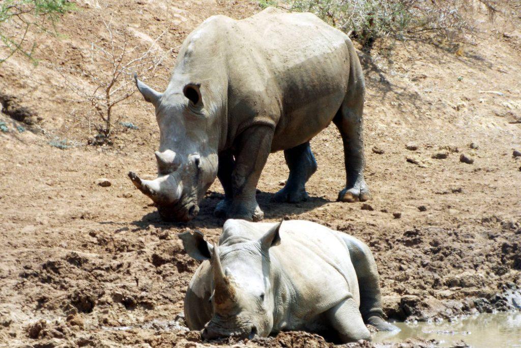 Afrique du Sud - Pilanesberg - rhinocéros blancs