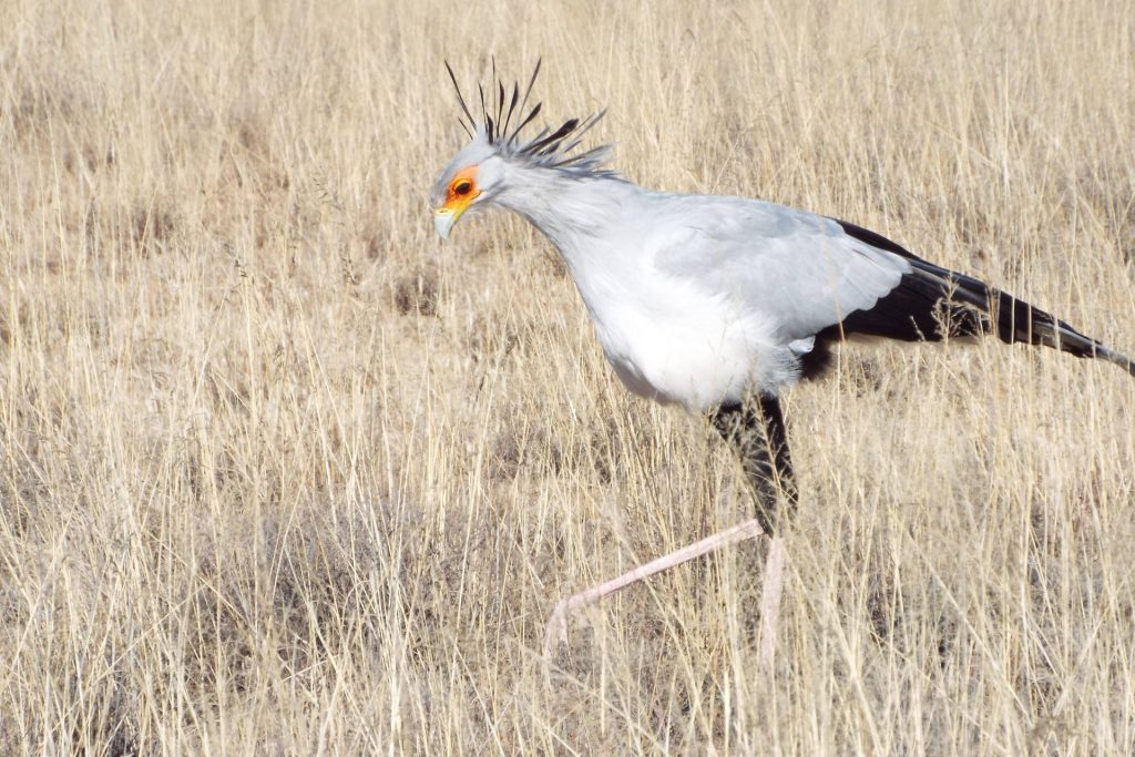 Afrique du Sud - Mountain Zebra National Park - Secretary Bird