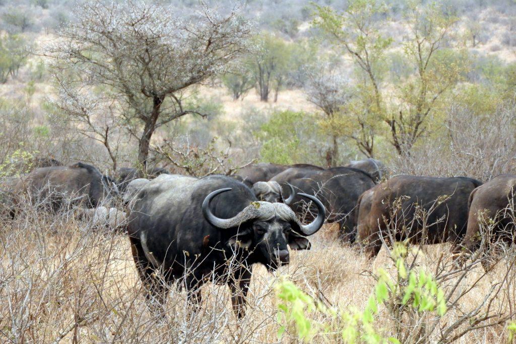 Afrique du Sud - parc Kruger - buffles