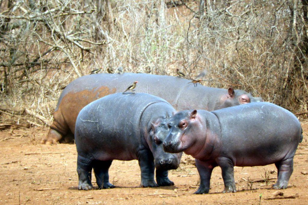 Afrique du Sud - parc Kruger - hippopotames