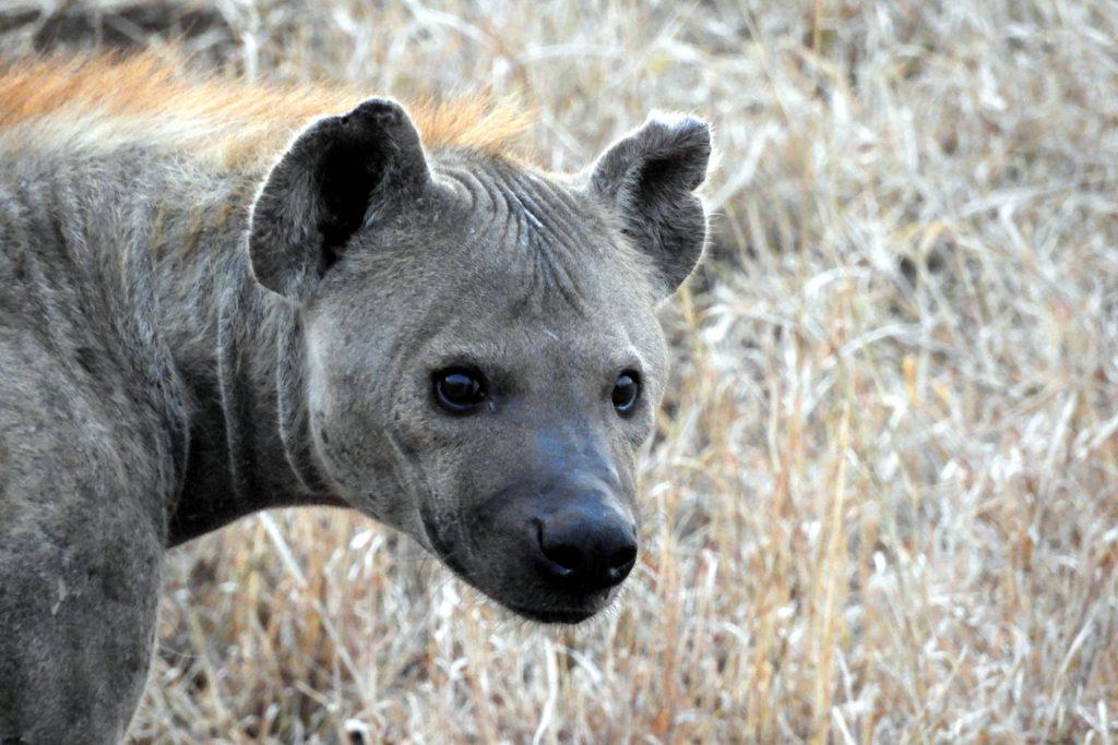Afrique du Sud - parc Kruger - hyene