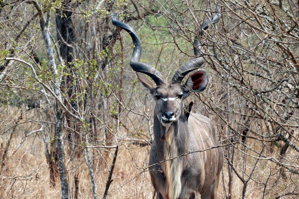 Afrique du Sud - parc Kruger - koudou
