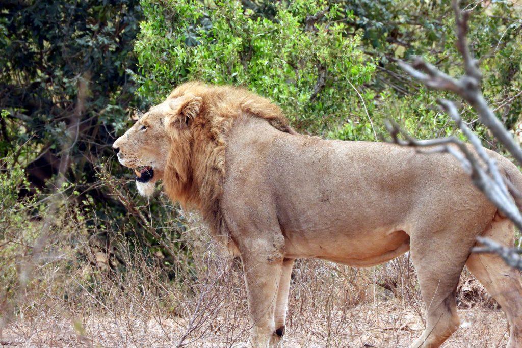 Afrique du Sud - parc Kruger - lion