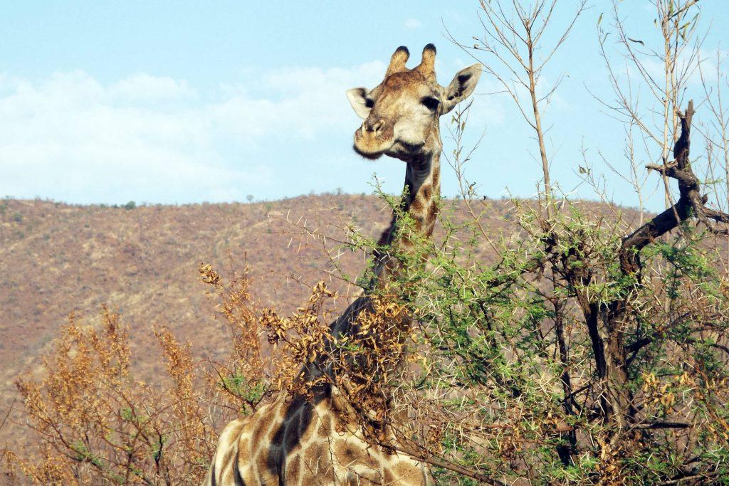 Afrique du Sud - Pilanesberg - girafe