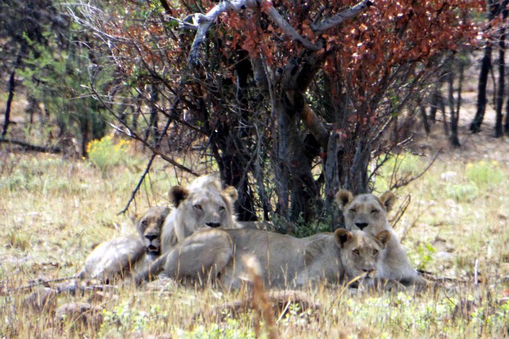 Afrique du Sud - Pilanesberg - lions