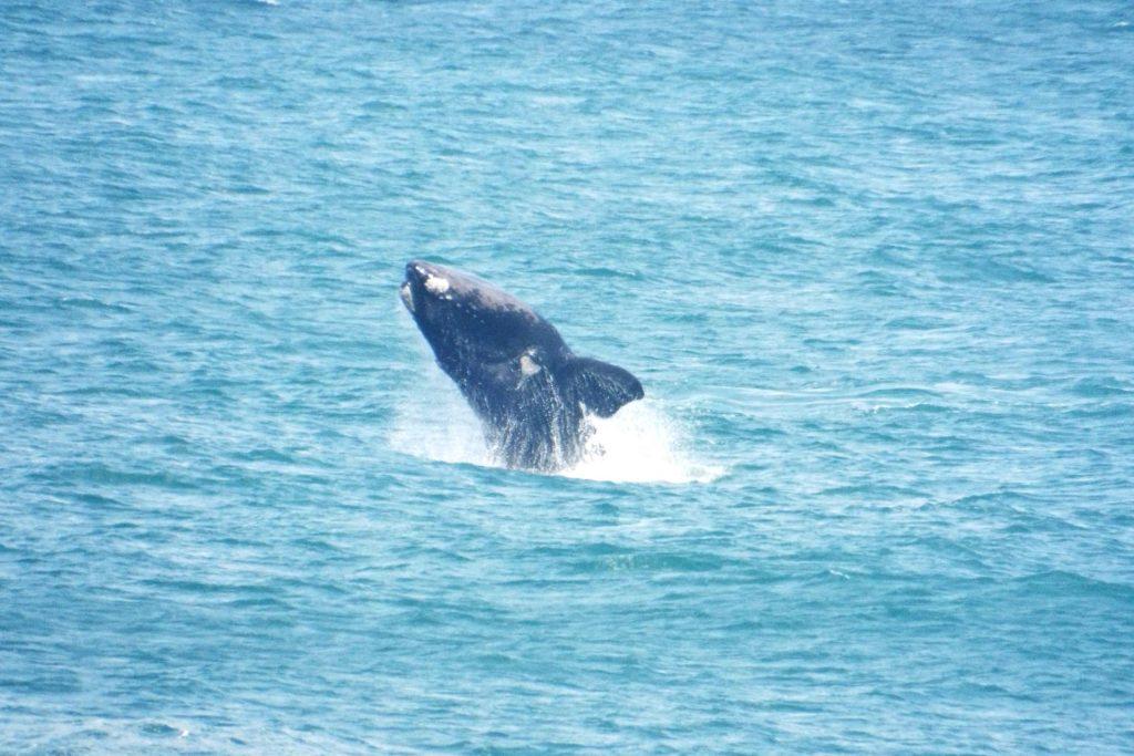 Hermanus - Baleine qui saute