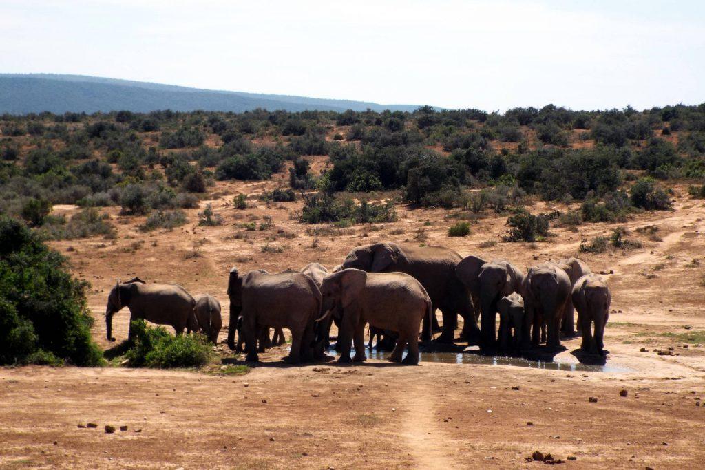 Afrique du Sud - parc Addo Elephant - éléphants