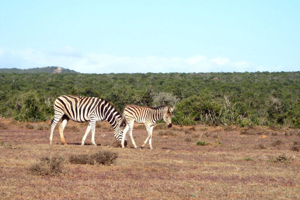 Afrique du Sud - parc Addo Elephant - zèbres