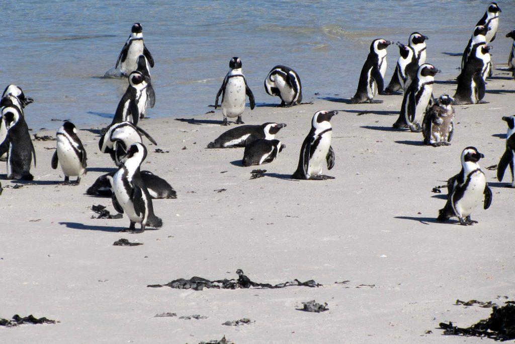Afrique du Sud - Cape Town - Boulders Beach